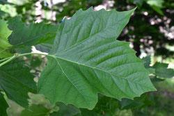 デカい葉っぱ 何の木