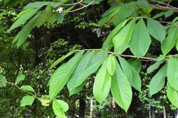 大きな菜っ葉の木 種類