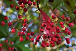 赤い実 何の木