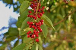 樹木 種子 特徴