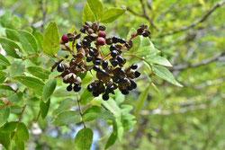 黒い木の実 名前