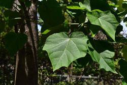 葉が大きな樹木 名前