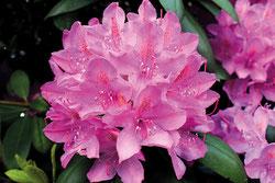 rhododendron english roseum online kaufen auf. Black Bedroom Furniture Sets. Home Design Ideas