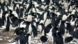 Los investigadores hallaron 751.527 parejas de pingüinos Adelia, un número mayor que el del resto de toda la península antártica. / Michael Polito © Louisiana State University