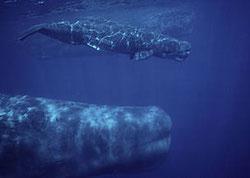 Cachalotes de los mares del Norte. Foto (cc) WWF.
