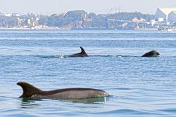 Grupo de delfines nariz de botella siguiendo la estela dejada por un galeón en la costa de la Arrábida, Portugal. Foto: Miguel Pinho.