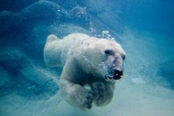 Las hembras subadultas de oso polar sin crías son más propensas a nadar largas distancias. En la imagen un oso polar nadando en el zoo de Asheboro (EE UU). / John