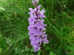 orchidée sauvage des Cévennes
