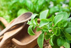 Stevia Pflanze und Holzbesteck