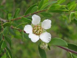 Huile essentielle de Tea-tree ou Arbre à thé - Melaleuca alternifolia