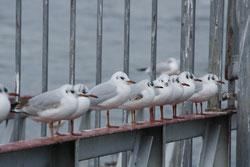 32 Möwen/Sea gulls