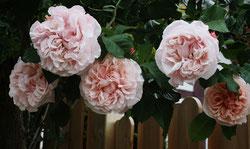 35 Ros Rosen/Pink roses