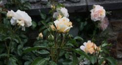 2 Gelbe Rosen/Yellow roses
