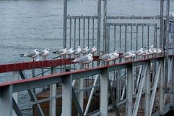 38 Möwen/ Sea gulls
