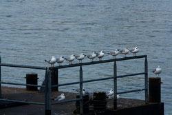 34 Möwen/Sea gulls