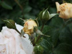 3 Gelbe Rosen/Yellow Roses