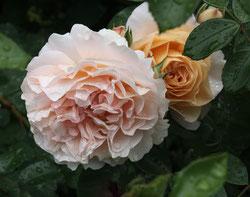 33 Rosa Rosen/Pink roses