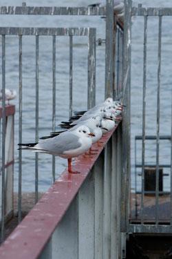 35 Möwen/Sea gulls