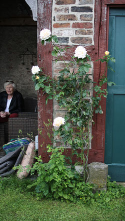 19 Gelbe Rosen/Yellow roses