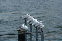 37 Möwen/Sea gulls