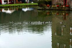 12 Erpel/Ducks