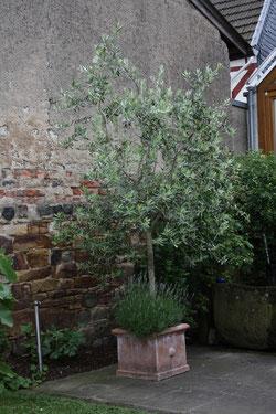 30 Lavendelbaum/Lavnder tree