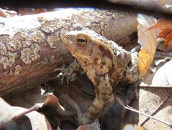 Bild: Erdkröte im Laub vor einem Stück Holz auf ihrer Wanderschaft.