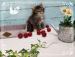 サイベリアン子猫の激安販売【関東・埼玉】ブリーダーから直接お迎えで、安心・安い!
