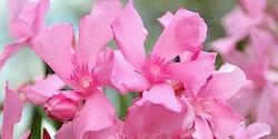 OLEANDER HAUS  Nerium Oleander Wild Oleander Todra