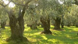 дегустация оливкового масла тоскана италия