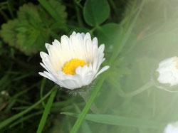 Ein Gänseblümchen in klarer Reinheit.