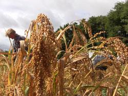 Récolte de millets en Vendée