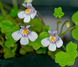 Mauer-Zimbelkraut Cymbalaria muralis  Naturgartenbalkon wildlife garden balcony native plants balcony through ivy-leaved toadflax Kenilworth ivy coliseum ivy Oxford ivy mother of thousands pennywort wandering sailor,