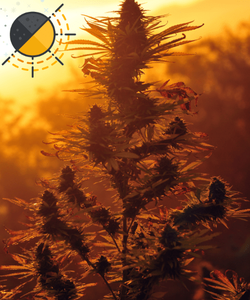 Cannabis benötigt Dunkelheit