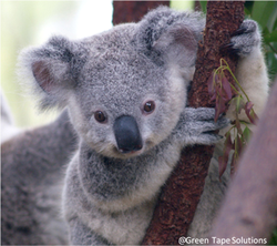 Koala habitat surveys and relocation