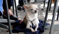 """""""Sie sind überall anzutreffen, die Chihuahuas! Dein Strandnachbar ist mein Tischnachbar."""" (Foto: Hans Weiss)"""