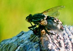 Es gibt auch lästige Fliegen