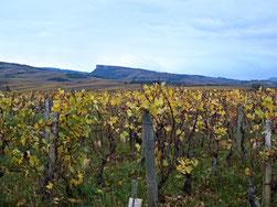 Reben im Burgund (Frankreich)