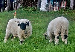 Es gibt nicht nur weisse Schafe, es gibt nicht nur schwarze Schafe, am schönsten sind die multi-kulti Schafe