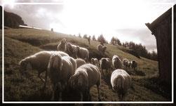 Weide, Schafe, Tirol,