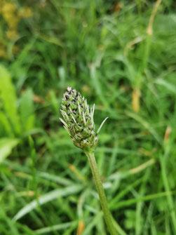1 Flasche Vogelmieren Oxymel in Vogelmierenpflanzen