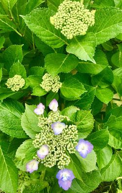 癒しの和エステ「心美」の庭の額紫陽花