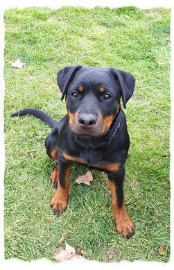 Chiot Rottweiler à l'école pour chiots à Dax