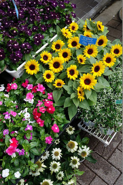タンポポの並びにあるお花屋さんで売られている小さな向日葵さん♪ 私たち、タンポポも向日葵さんに負けないように元気に営業中だよ♪