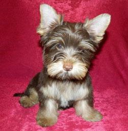 Glitter Lovely Dog of Moravia