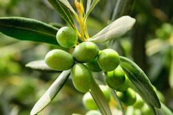 GM Olive Artikelnummer: 370