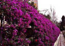 Unbraculo  hecho de plantas trepadoras y con banquitos en su interior del jardín de Monforte en Valencia.