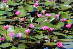 濃いピンク色の花を咲かせるスイレン。訪れる人々の目を楽しませている=5日午前、バンナ公園せせらぎ広場