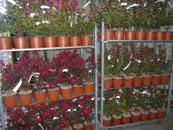 DESPRAT Pépinières Grossiste vente réservée aux professionels plantes arbustes fruitiers conifere décorosiers plantes terrre de bruyeres de haies mediteraneenne