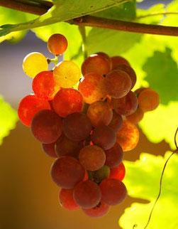 Nahaufnahme einer rötlichen Weintraube im Herbst am Rebstock hängend